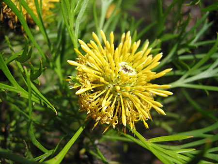 Large, globular yellow flower
